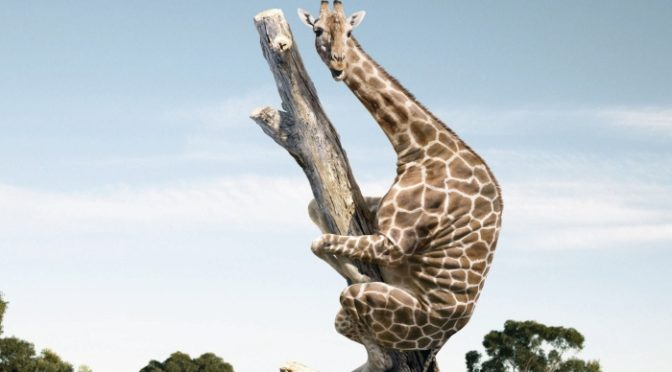 Giraffe up tree