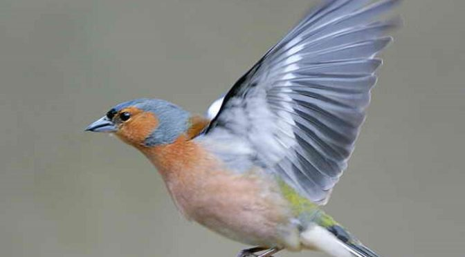 09-10-2017 – The Laughing Chaffinch