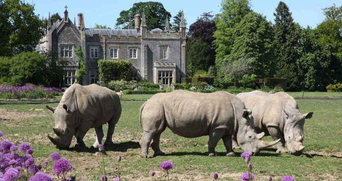 Rhinos on the lawn